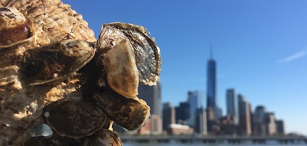 oysters-at-River-Project-ORS-for-web2